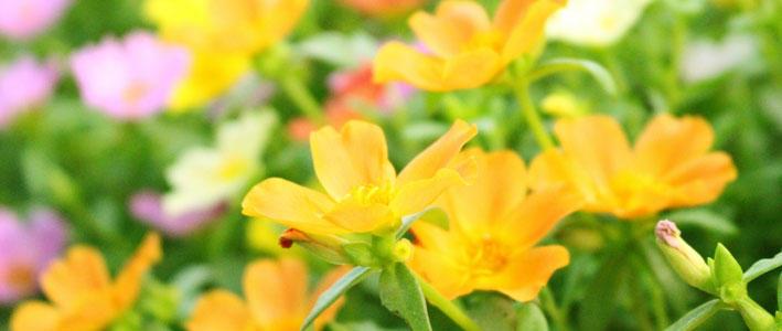 育て ポーチュラカ 方 の ポーチュラカの育て方:花と緑のある生活 住まいの豆知識 ホームセンタービバホーム