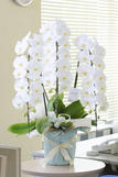 最高級胡蝶蘭3本立(白) 3万コース 色指定