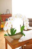 胡蝶蘭 白(大輪) リング ※陶器鉢仕立て 色指定