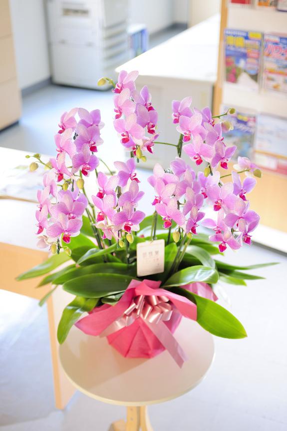 「胡蝶蘭 中大輪」商品の販売を開始いたしました。
