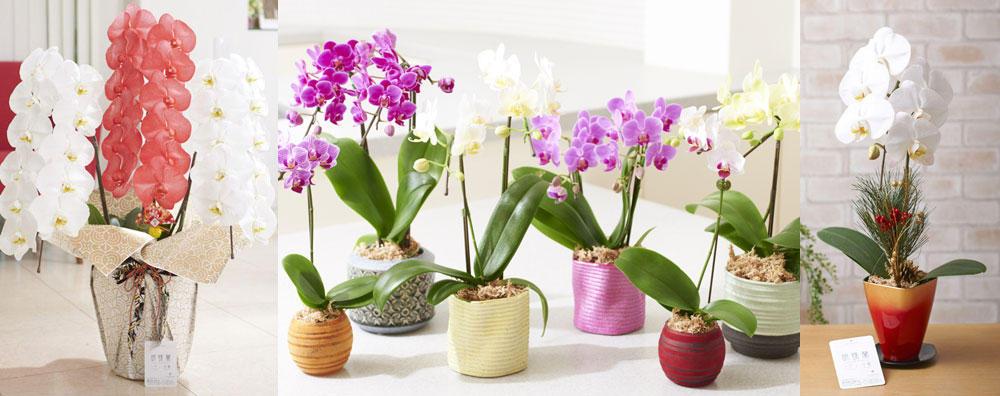 geishun_orchid.jpg