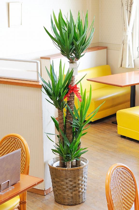 <p>ユッカ・エレファンティペスは開店祝いの贈り物にも人気の観葉植物です。</p>