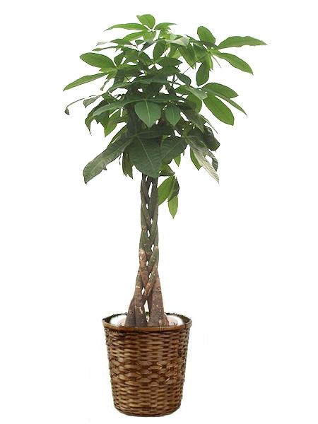 <p>成長が早く耐陰性、耐寒性もあり丈夫で育てやすいパキラです。</p>