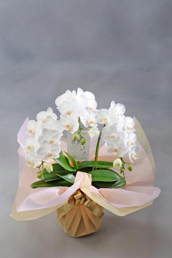 <p>可愛らしい胡蝶蘭だから個人のちょっとしたお祝いにおすすめ!ご自宅やご家族の記念日にもどうぞ・・・</p>