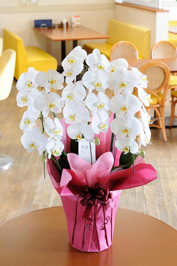 <p>お値段と満足度に自信を持ってお届けするコストパフォーマンスの良い胡蝶蘭です。</p>