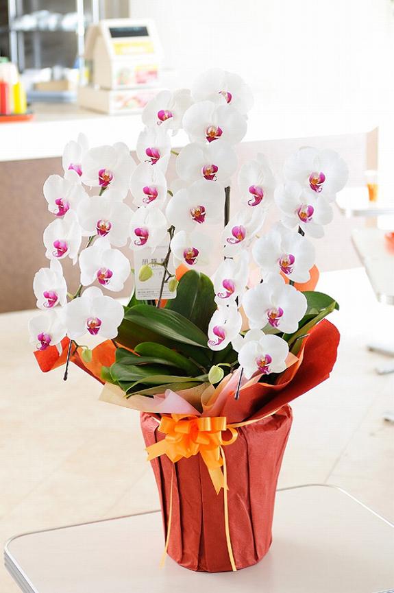 <p>3本立ち1.2万円コースのお色指定1.5万円コースで、可愛らしいリップの胡蝶蘭です。</p>
