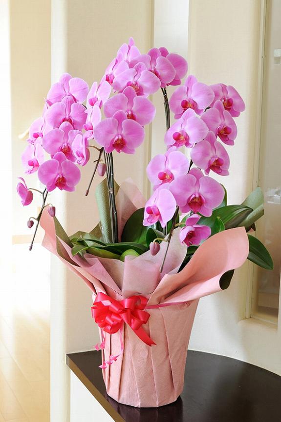 <p>3本立ち1.2万円コースのお色指定コースで、可愛らしいピンクの胡蝶蘭です。</p>
