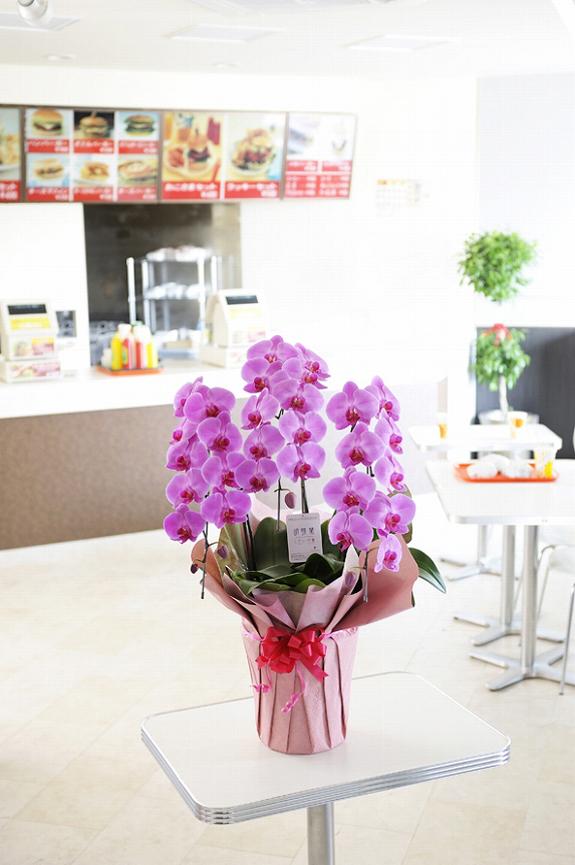 <p>さわやかお店に鮮やかなピンクの胡蝶蘭、店内に明るさを振舞います。</p>