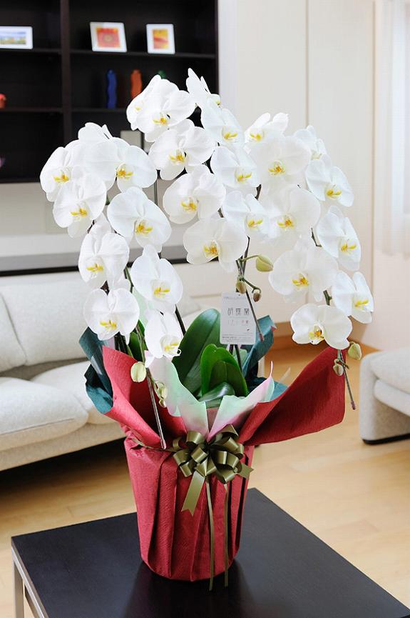 <p>見栄えを上げたい、差をつけたいお客様にワンランク上の可憐な胡蝶蘭です。</p>