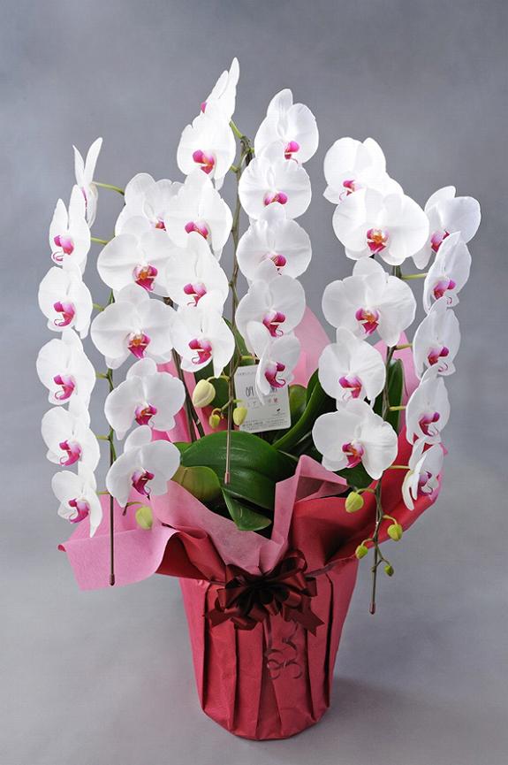 <p>輪数、高さ、ボリュームなどのグレードを上げ、見栄えの充実した胡蝶蘭に仕上がっております。しかも、お色指定だからお花がたくさん届いても目立ちます。</p>
