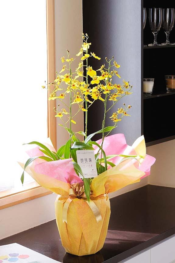 <p>ハワイで作出された品種だから、南国ムードいっぱい!温室不要で、初心者でも咲かせられるのが特徴です。</p>