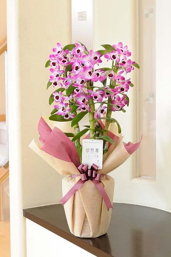 <p>迷ったら当店におまかせを!1万円で大型の見栄えする季節のお花をお届けいたします。<br /> こちらの洋蘭は冬から春までの洋蘭「デンドロビューム」です。<br /> </p>