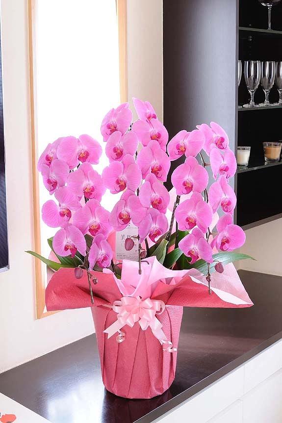 <p>見栄えを上げたい、差をつけたいお客様にワンランク上の可憐な胡蝶蘭!可憐なピンクのお色タイプです。</p>