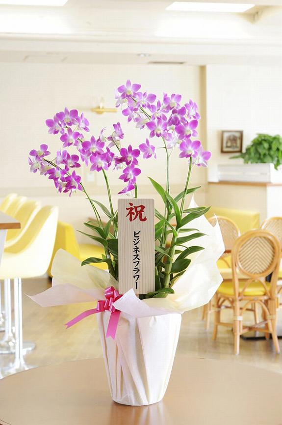 <p>こちらの洋蘭は春から夏の洋蘭「デンファレ」、先端に可愛らしいお花を付けるのが特徴です。</p>