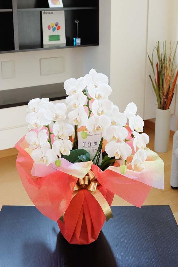 <p>ご家庭で楽しむのにぴったりのミニ胡蝶蘭ミディ!個人のちょっとしたお祝いに・・・</p>