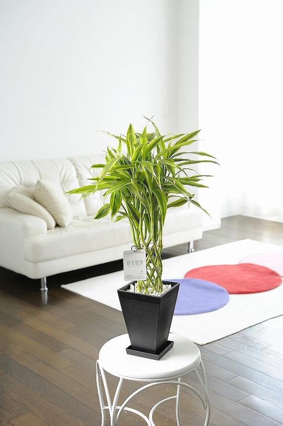 <p>幸せを運ぶ幸運の竹、縁起の良い観葉植物ミリオンバンブーのゴールド!</p>