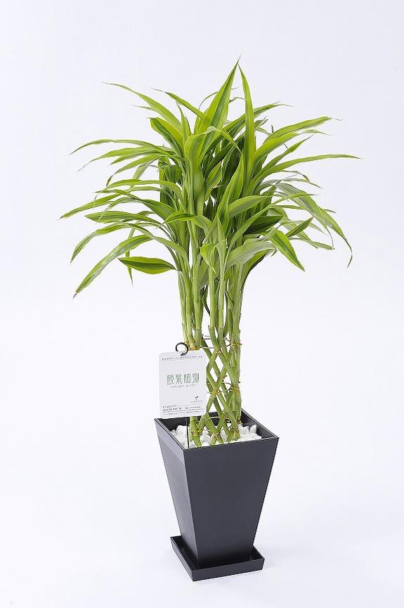 <p>生命力が強いため一般でも育てやすいドラセナ系の植物です。</p>