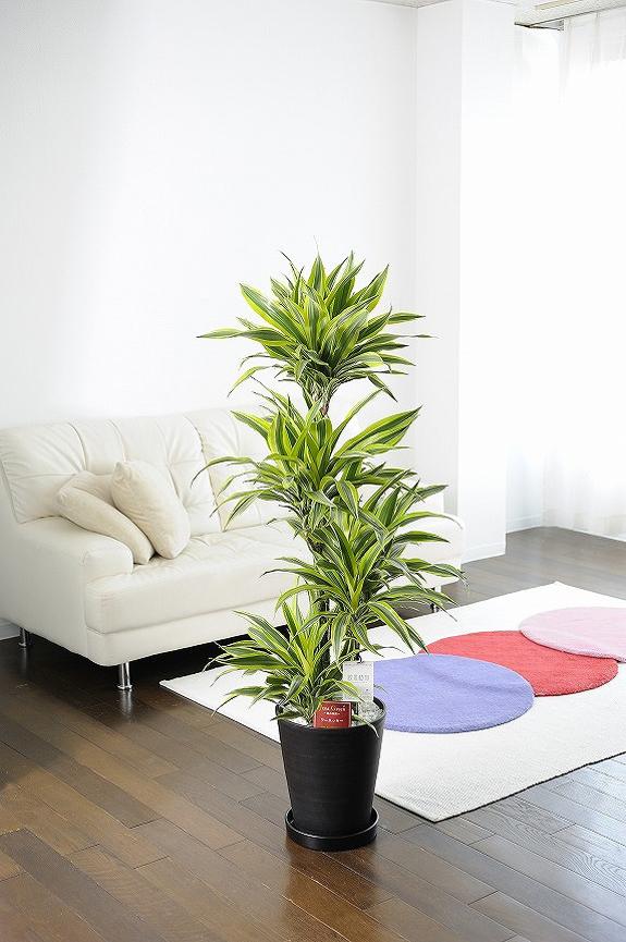 <p>光沢のある剣状のライムグリーンの葉にホワイトの縦縞の斑と濃いグリーンが入る美しい観葉植物です。</p>
