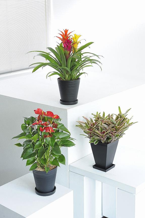 <p>葉や花のお色が楽しめるカラフルな観葉植物6号鉢サイズの3個セット!</p>