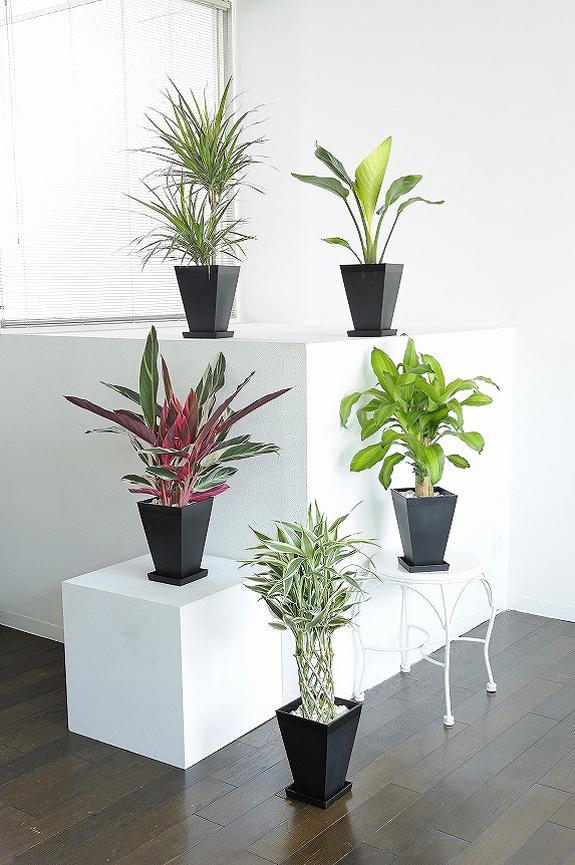 <p>観葉植物の6号鉢サイズを生産者おまかせで5鉢お届け!<br /> ※掲載中の写真は見本で、おまかせ商品のため同じものが送られるわけではございません。</p>