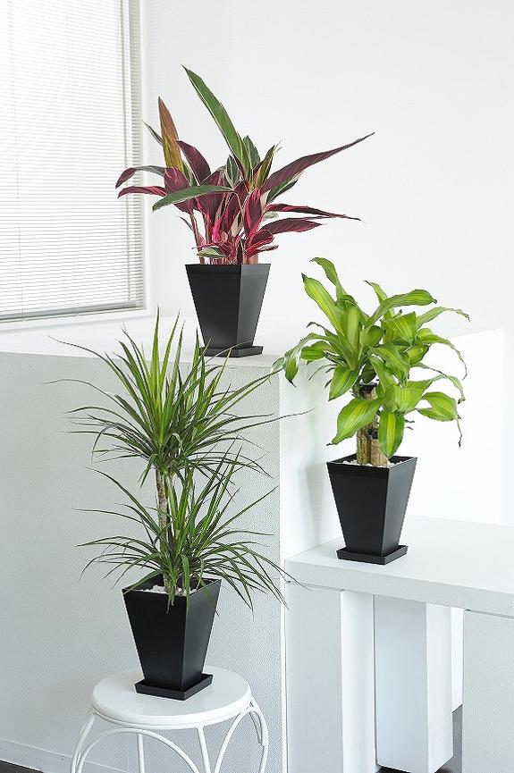 <p>観葉植物の6号鉢サイズを生産者おまかせで3鉢お届け!<br /> ※掲載中の写真は見本で、おまかせ商品のため同じものが送られるわけではございません。</p>