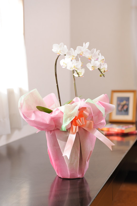 <p>雪のようにキラキラ光る花弁にピンクのリップが可愛いらしい、大変品の良い品種です。</p>