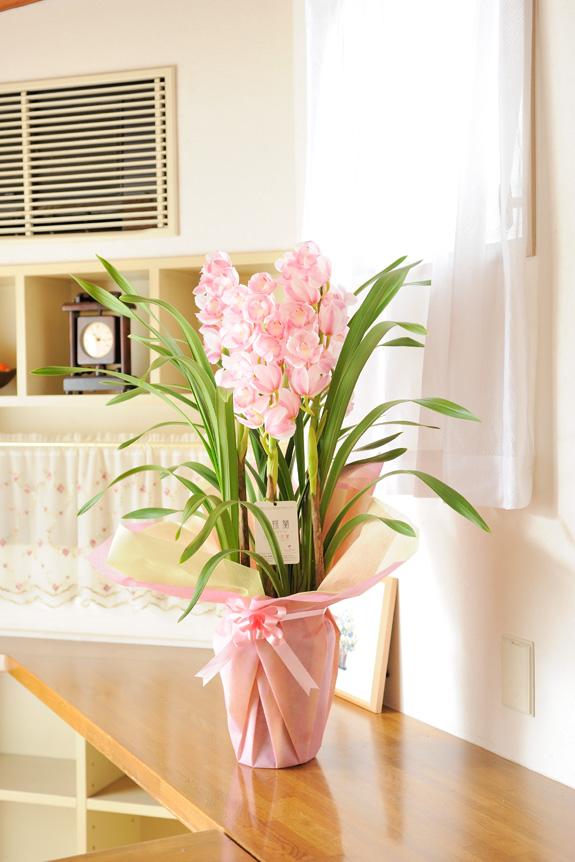 <p>淡い白雪色の花弁と、すくっと真っ直ぐ上に伸びるその姿が気品をうかがわせ、大人気品種です。</p>