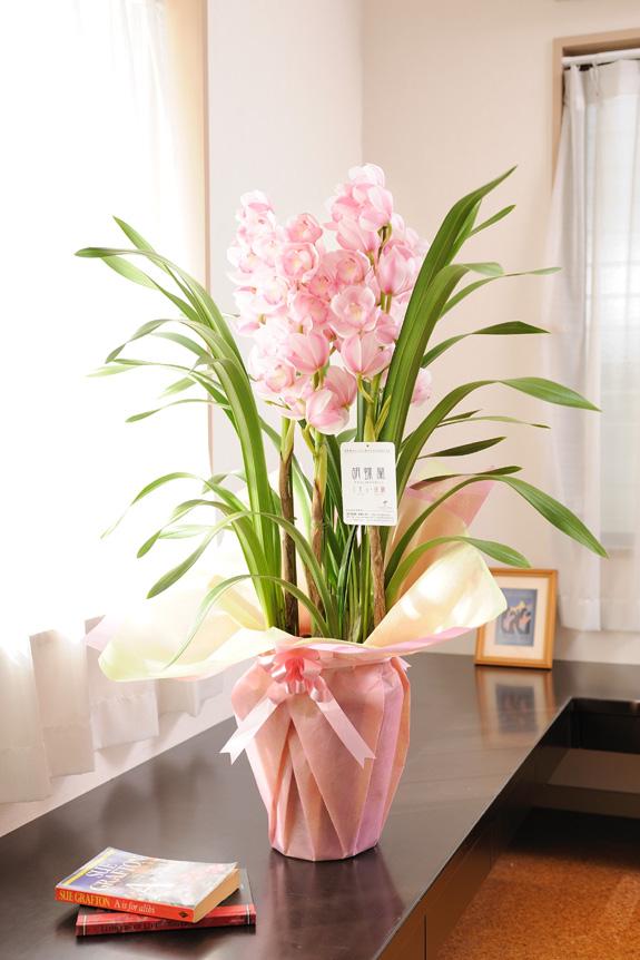 <p>愛子様のご生誕を記念して作られた洋蘭は、やさしい薄ピンク色のふくよかな色合いです。</p>