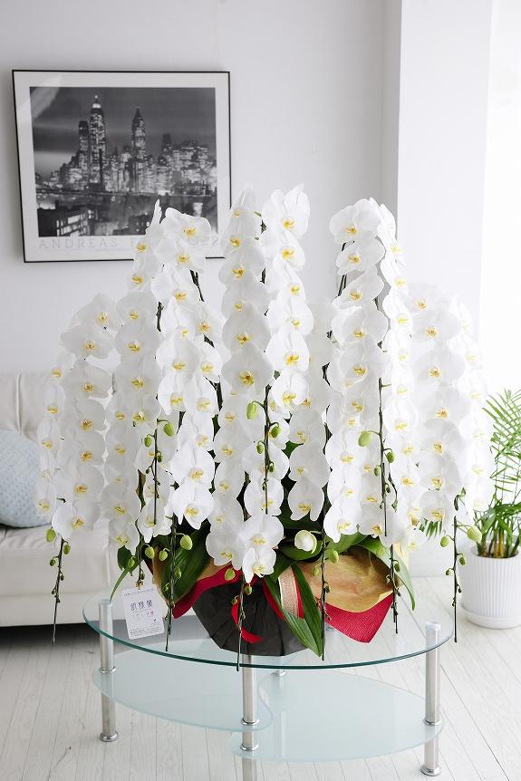 <p>サイズ、内容ともに品評会に出品される様なレベルの最高級胡蝶蘭10本立です。</p>