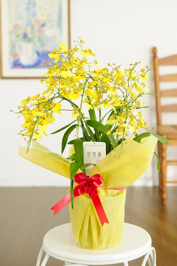 <p>ハワイで作出された品種だから、南国ムードいっぱい!温室不要で、初心者でも咲かせられるのが特徴です。<br /> </p>