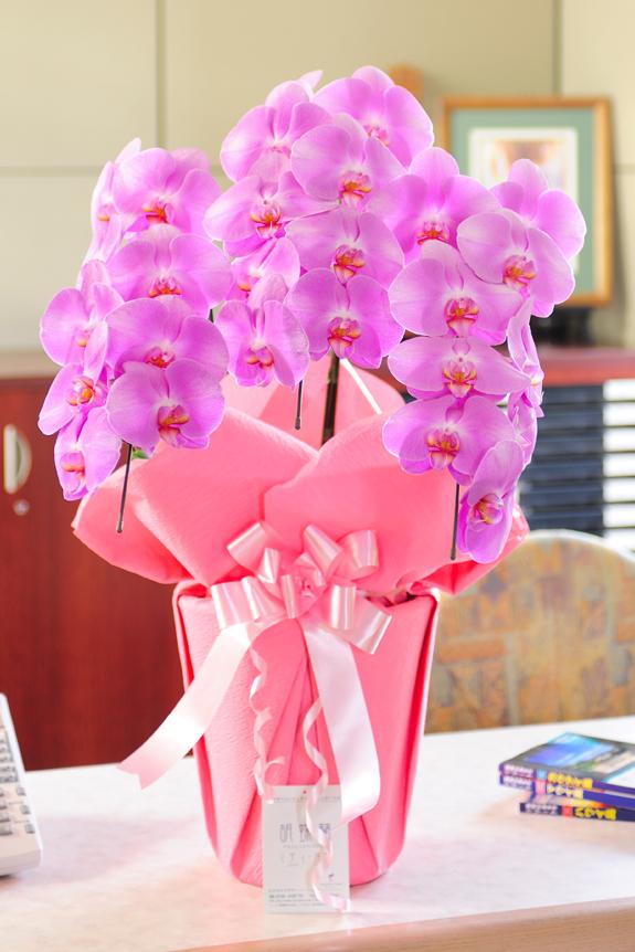 <p>驚き価格で大輪系胡蝶蘭をお届けします!ギフトやプレゼントに最適な胡蝶蘭です。</p>