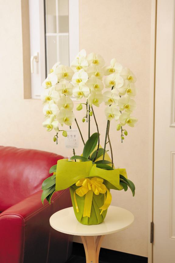 <p>お祝いや各種ギフトでよく使われるサイズの胡蝶蘭です。</p>