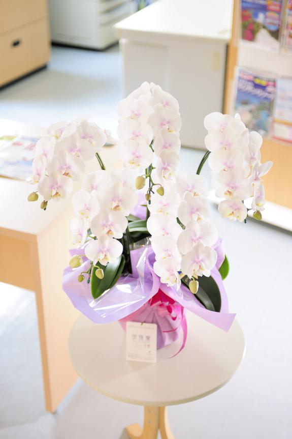 <p>ファーストラブは白い花びらにピンクが散りばめられたようなお花です。とても可愛らしい印象で、女性へのプレゼントとして喜ばれております。<br /> </p>