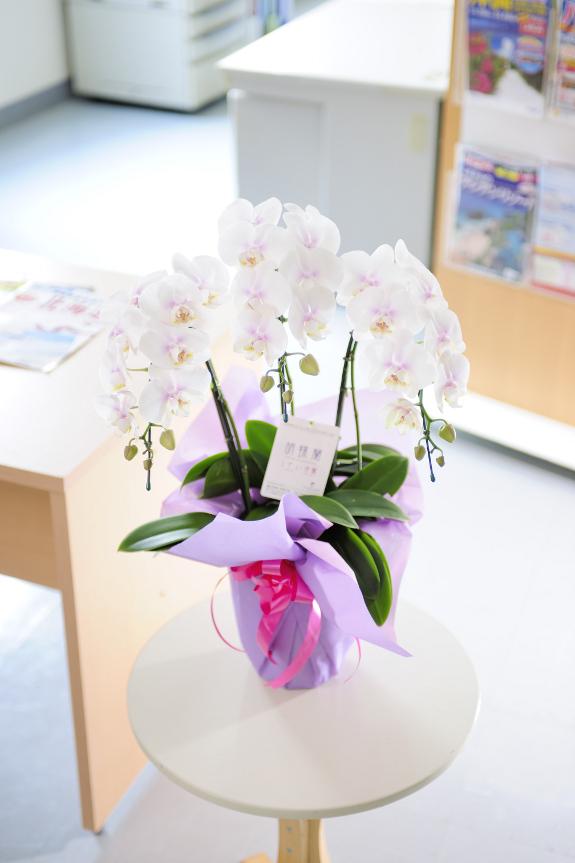 <p>お祝い花のギフトやご家庭で楽しむのにぴったりのミニ胡蝶蘭ミディ</p>