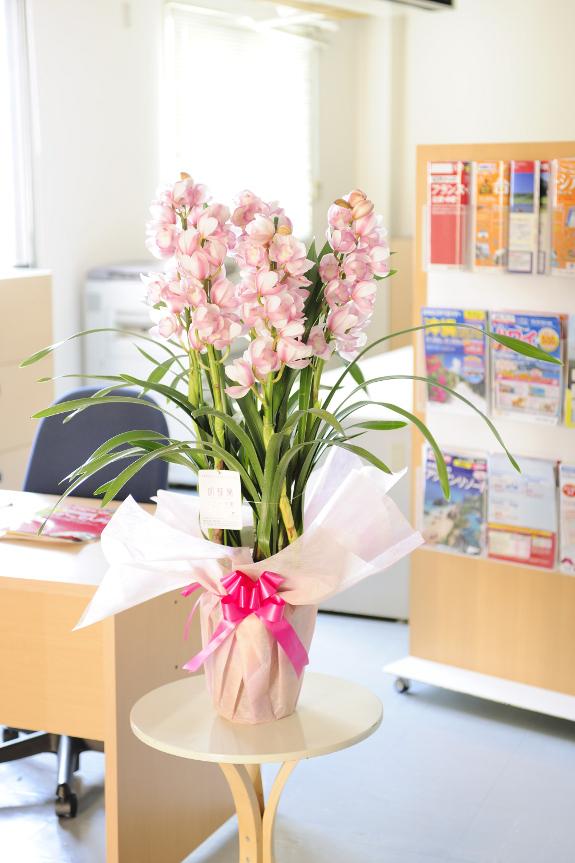 <p>一般的な生花店では手に入らないやさしい薄あすき色のふくよかな色合いのシンビジュームです。</p>