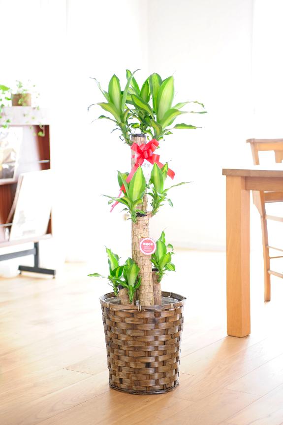 <p>「幸福の木」で知られる縁起の良い木!ドラセナ・マッサンゲアナはインテリアグリーンの定番です。</p>