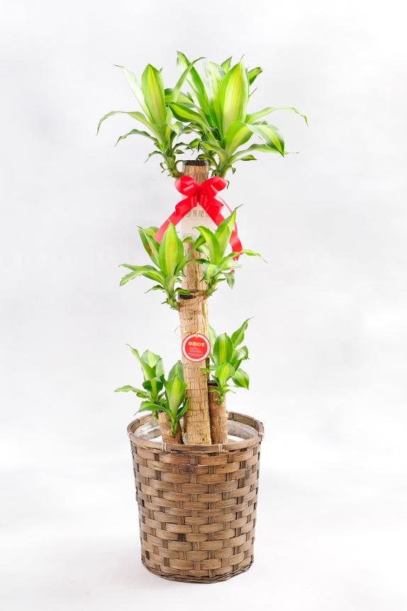 <p>さまざまな御祝の場面でご利用いただける人気の観葉植物ドラセナ・マッサンゲアナです。</p>