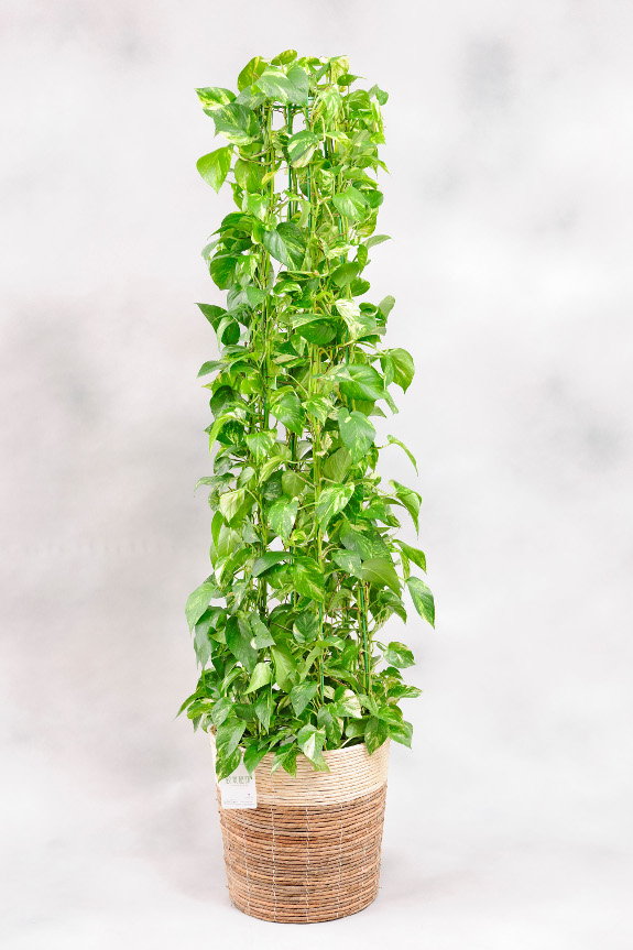 <p>飽きのこない観葉植物の定番として長く親しまれている「ポトス」です。<br /> </p>