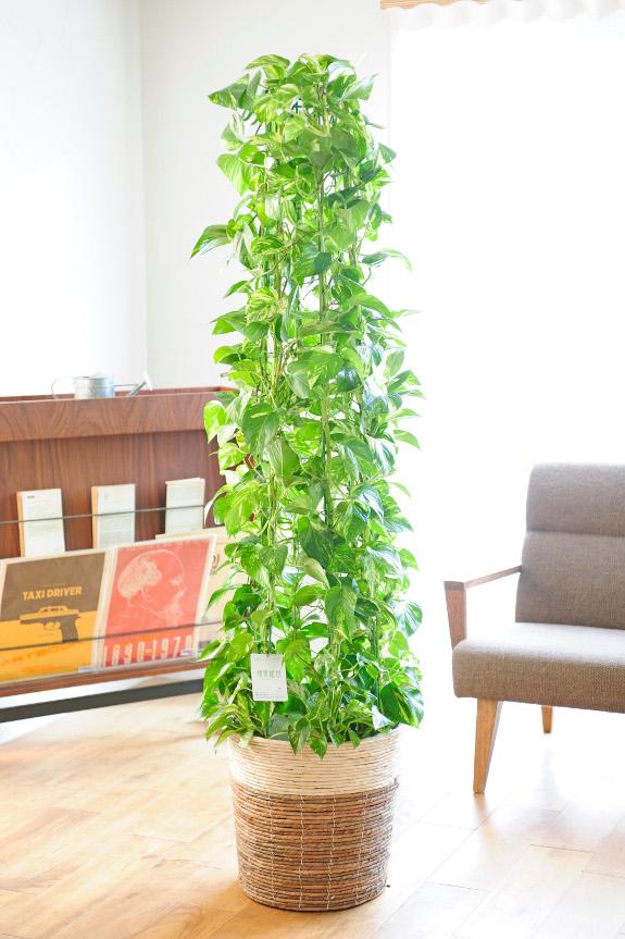 <p>光沢のある葉が印象的な観葉植物として、個人間・邦人間を問わずポトスはお祝い花として人気があります。</p>