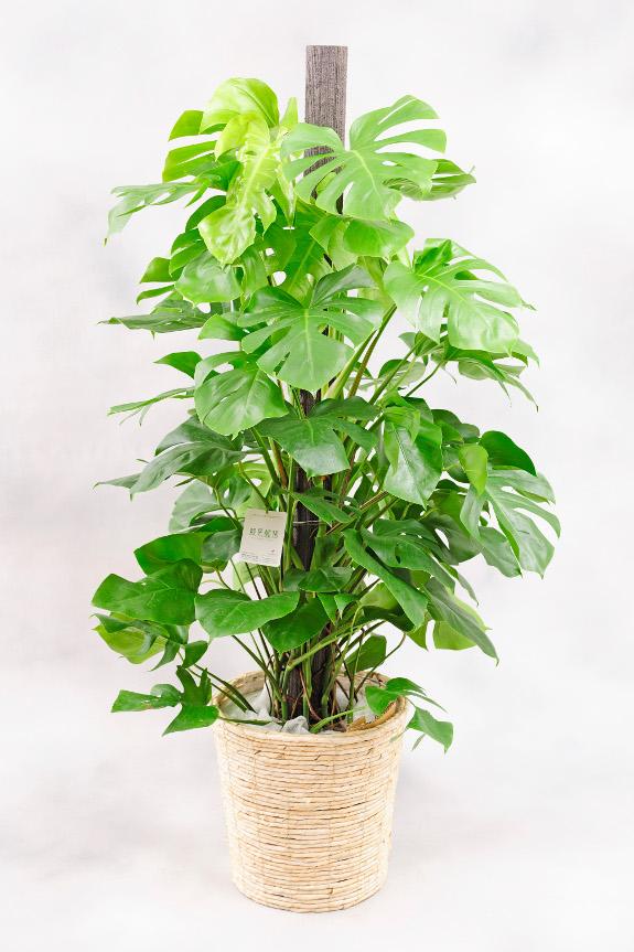 <p>モンステラは葉が広がらないように、中央の支柱に丁寧にくくり付けてお届け致します。</p>