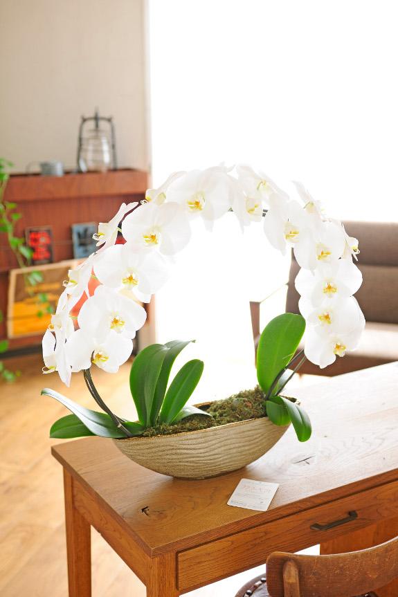 <p>お祝い花としては定番の大輪胡蝶蘭を見事にリング状にお仕立てたアート作品のような胡蝶蘭です。</p>