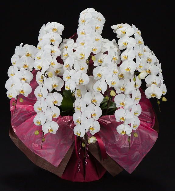 <p>就任祝いや上場祝い、選挙などの当選祝いにオススメしたい豪華10本立、80輪以上を誇る、大型サイズ胡蝶蘭です。</p>