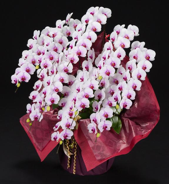 <p>就任祝いや上場祝い、選挙などの当選祝いなど特別なお祝い事に推奨する豪華な胡蝶蘭です。</p>