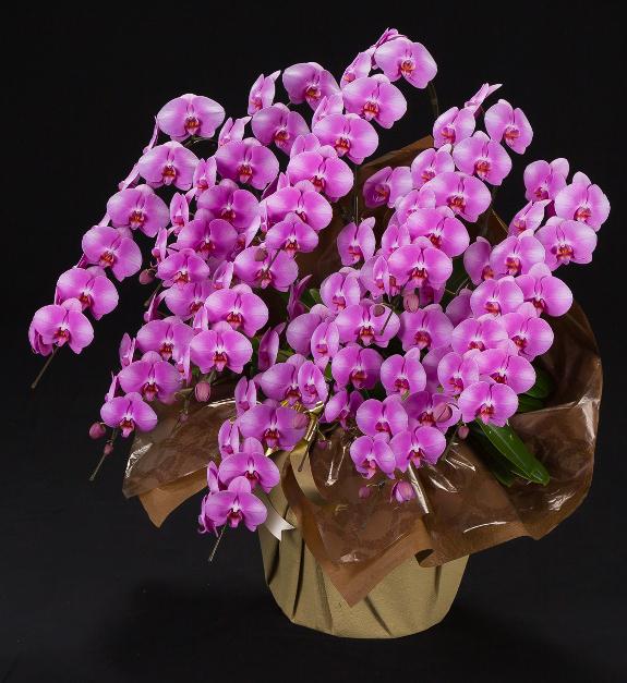 <p>就任祝いや上場祝い、当選祝いなどパーティーなどへのお届けを推奨する豪華な大型サイズの胡蝶蘭です。</p>