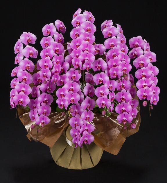 <p>華やかなピンクのお花が印象的な大型サイズの胡蝶蘭です。白い胡蝶蘭よりも明るく、華やかな存在感とmなります。</p>