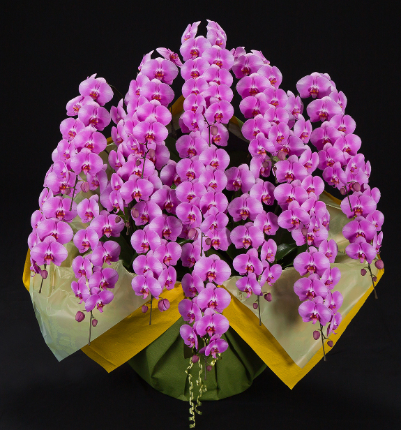 <p>圧倒的な大きさから驚きの声が上がるほど、立派で存在感のある大型サイズの胡蝶蘭です。</p>