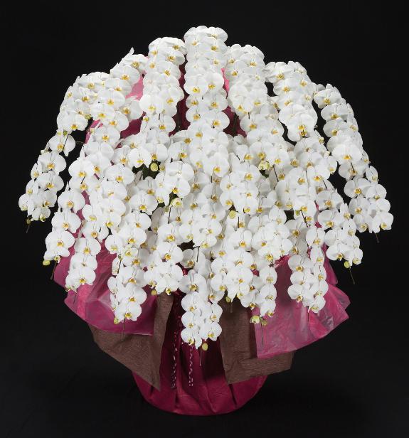 <p>30本立の驚愕サイズの胡蝶蘭。その迫力は見る人から驚きの声を飲み込むほど・・・。特別なお祝い花として推奨する豪華な胡蝶蘭です。</p>