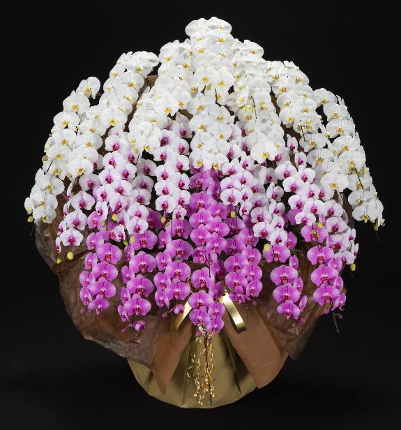 <p>3色の胡蝶蘭が同日楽しる、胡蝶蘭3色寄せ。出荷直前に契約農家が、手作業でお花をおしたてして、迫力の胡蝶蘭を全国へお届けい致します。</p>
