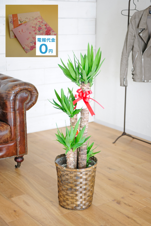 <p>ツンツンした葉が印象的なユッカ・エレファンティペスは別名「青年の樹」として親しみのある観葉植物の一つです。寒さや暑さにも比較的強い為、管理がしやすい観葉植物の一つです。当店オリジナルの電報と一緒にしてお届け致します。</p>