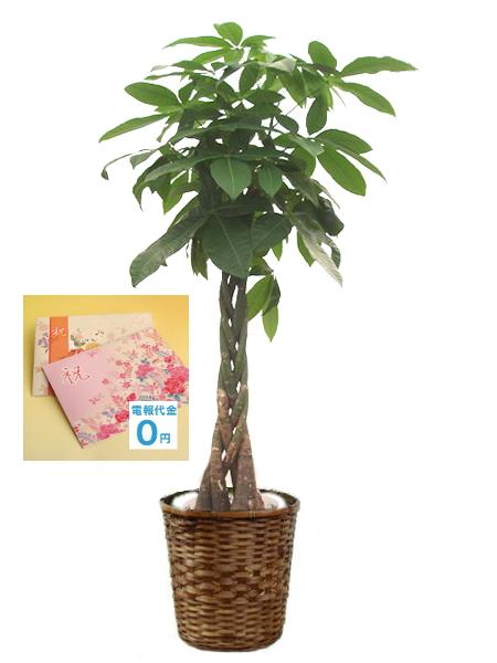 <p>観葉植物「パキラ」はねじれた幹が印象的です。虫がつきにくく管理が楽なのおすすめのポイントの一つです。当店オリジナルの電報と一緒にしてお届け致します。</p>